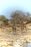 Giraffe, Giraffa camelopardalis, in Etosha National Park, Namibi Stock Photos