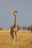 Giraffe, Giraffa camelopardalis, in Etosha National Park, Namibi Stock Photography