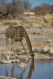 Giraffe, Giraffa camelopardalis, in Etosha National Park, Namibia Royalty Free Stock Image