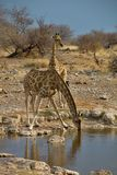 Giraffe, Giraffa camelopardalis, in Etosha National Park, Namibia Royalty Free Stock Photography