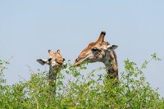 Giraffe Giraffa camelopardalis eating. Giraffe Giraffa camelopardalis feeding off the trop of small tree, taken in South Africa stock photography