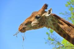 Giraffe Giraffa camelopardalis giraffa. Portrait against the blue sky. Giraffe Giraffa camelopardalis giraffa. Portrait with hay Royalty Free Stock Photography