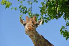 Giraffe Giraffa camelopardalis giraffa. Portrait. Spring. South African giraffe or Cape giraffe Giraffa camelopardalis giraffa Royalty Free Stock Photography