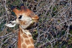 Giraffe (Giraffa camelopardalis). Grazing in Kruger National Park Stock Photo