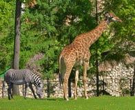 Giraffe Giraffa camelopardalis and Grevy`s zebra Equus grevyi. In spring Royalty Free Stock Photos