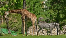 Giraffe Giraffa camelopardalis and Grevy`s zebra Equus grevyi. In spring Stock Photography