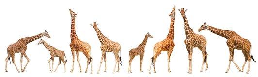 Giraffe (Giraffa camelopardalis). Isolated on white background Stock Images
