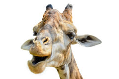Giraffe (Giraffa camelopardalis) isolated on white Stock Photos
