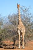 Giraffe (Giraffa camelopardalis). In Kruger National Park Royalty Free Stock Image