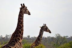 Giraffe (Giraffa camelopardalis). Stock Images