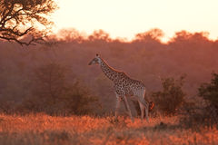Giraffe, Giraffa camelopardalis. Kruger national park, South Africa Royalty Free Stock Images