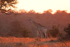 Giraffe, Giraffa camelopardalis. Kruger national park, South Africa Royalty Free Stock Image