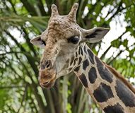 Giraffe Giraffa camelopardalis. Closeup. Mesh giraffe. Wild nature. Giraffe is the highest terrestrial animal of the planet. Giraffe Giraffa camelopardalis. Mesh royalty free stock photo