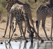 Giraffe (Giraffa camelopardalis) - Namibia. Giraffe (Giraffa camelopardalis) taking a drink at a waterhole in Etosha National Park in Namibia Royalty Free Stock Images