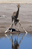 Giraffe (Giraffa camelopardalis) - Namibia. A Giraffe (Giraffa camelopardalis) drinking at a waterhole in Etosha National Park in Namibia Stock Photo