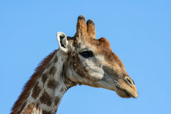 Giraffe (Giraffa camelopardalis) in Namibia Royalty Free Stock Photos