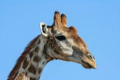 Giraffe (Giraffa camelopardalis) in Namibia Royalty Free Stock Photos