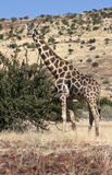 Giraffe - Giraffa camelopardalis - Namibia Royalty Free Stock Photo