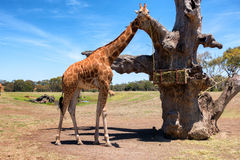 Giraffe (Giraffa camelopardalis) over blue sky with white clouds in wildlife sanctuary. Australia. Stock Image