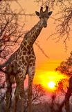 A Giraffe Giraffa Camelopardalis Peers through the African bush with the sun setting. In the background stock photography