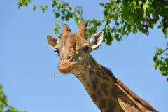 Giraffe Giraffa camelopardalis giraffa. Portrait on sky backgroundn. Giraffe Giraffa camelopardalis giraffa. Portrait on blue sky backgroundn Royalty Free Stock Image