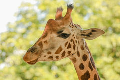 Giraffe (Giraffa camelopardalis). A giraffe (Giraffa camelopardalis) rising its heads Royalty Free Stock Photography