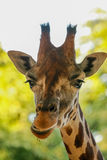 Giraffe (Giraffa camelopardalis). A giraffe (Giraffa camelopardalis) rising its heads Royalty Free Stock Image