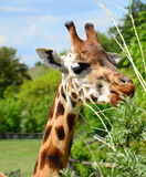 Giraffe. (Giraffa camelopardalis rothschildi) feeding on the shrub Royalty Free Stock Images