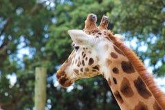 Giraffe (Giraffa camelopardalis). A side profile portrait of a Giraffe (Giraffa camelopardalis) taken at Wellington Zoo, New Zealand Stock Photography