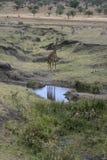 Giraffe, Giraffa camelopardalis, Stock Images