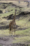 Giraffe, Giraffa camelopardalis, Royalty Free Stock Images