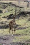 Giraffe, Giraffa camelopardalis, Royalty Free Stock Images