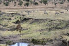Giraffe, Giraffa camelopardalis, Stock Photo