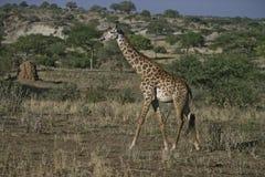 Giraffe, Giraffa camelopardalis, Royalty Free Stock Image