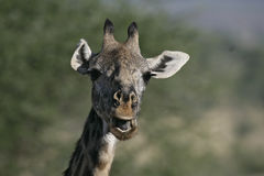 Giraffe, Giraffa camelopardalis, Stock Photography
