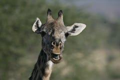 Giraffe, Giraffa camelopardalis, Stock Photography