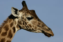 Giraffe, Giraffa camelopardalis, Royalty Free Stock Photo