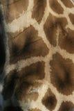 Giraffe, Giraffa camelopardalis, Royalty Free Stock Photography