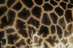 Giraffe, Giraffa camelopardalis, Royalty Free Stock Photo