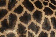Giraffe, Giraffa camelopardalis, Stock Image