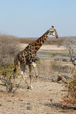 Giraffe, Giraffa camelopardalis Royalty Free Stock Photo