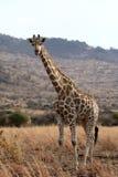 Giraffe, Giraffa camelopardalis Stock Photography