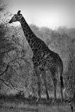Giraffe Giraffa camelopardalis, South Africa. BW portrait of a giraffe Giraffa camelopardalis, South Africa Royalty Free Stock Image