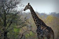 Giraffe Giraffa camelopardalis, South Africa. Portrait of a giraffe Giraffa camelopardalis, South Africa Royalty Free Stock Images