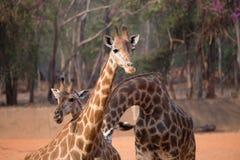Giraffe (giraffa camelopardalis). Standing on the ground stock images