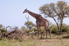 Giraffe standing next to a tree. Giraffe Giraffa camelopardalis standing in savannah, Kruger Park, South Africa Stock Photography
