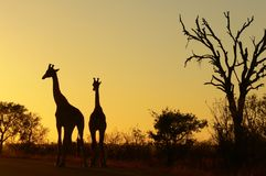 Giraffe (Giraffa camelopardalis) at sunrise Stock Images