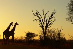 Giraffe (Giraffa camelopardalis) at sunrise Royalty Free Stock Image