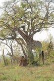 Giraffe Giraffa camelopardalis. Taken in South Africa stock images