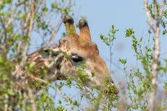 Giraffe Giraffa camelopardalis. Taken in South Africa stock image